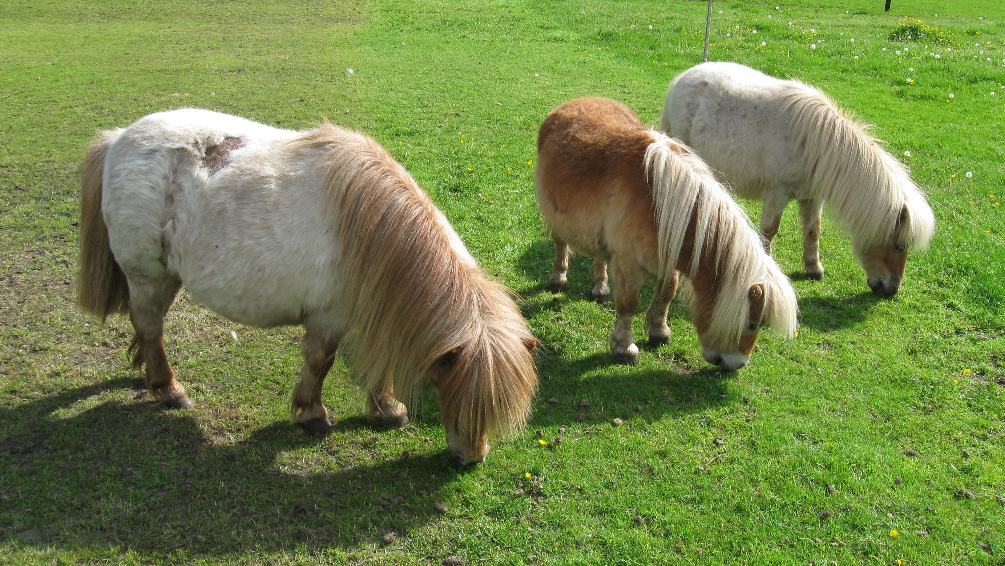Kleine paarden